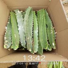 四平市盆栽火龍果圖片圖片