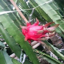 菏澤市火龍果樹苗圖片圖片