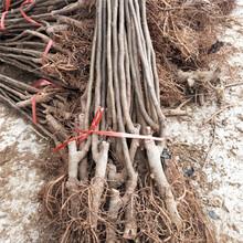 阳江市无花果的种植方法育苗注意事项图片