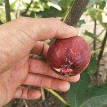呼和浩特市无花果树苗品种多成活率高质量好图片