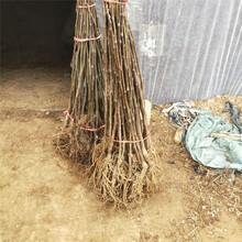 呼倫貝爾市無花果樹批發價格查詢圖片
