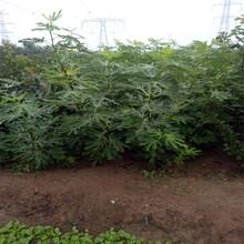 金昌市無花果樹的栽培歡迎前來咨詢圖片