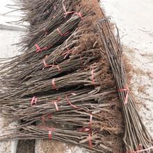 江門市無花果樹的管理歡迎前來咨詢圖片