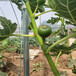 鶴崗市無花果樹一畝地需要種多少