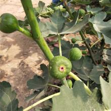 池州市无花果树的栽培管理保姆式扶持图片
