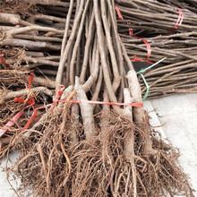 贺州市无花果的栽培技术种植技术指导图片
