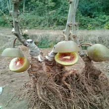 烏蘭察布市軟棗獼猴桃苗木圖片