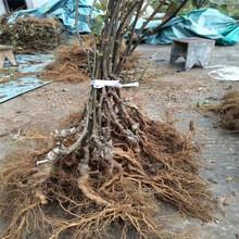 吉安市軟棗獼猴桃苗木圖片