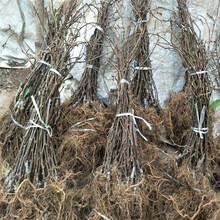 黔西南軟棗獼猴桃苗種植圖片