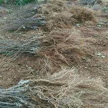 獼猴桃苗木價格保姆式扶持圖片