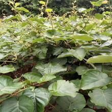 紅心獼猴桃苗供應超低價廠家直銷圖片