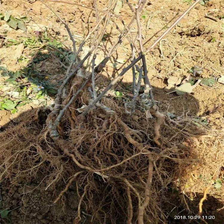 3年生软枣猕猴桃苗一棵多少钱