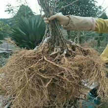 軟棗獼猴桃苗種植前景品種多成活率高質量好圖片