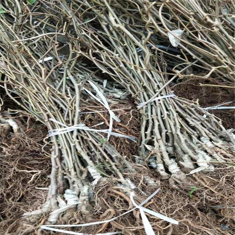 獼猴桃苗木幾年結果
