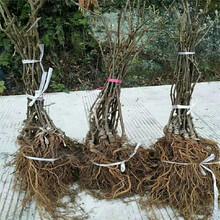 鶴壁市軟棗獼猴桃苗樹圖片