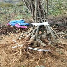 葫蘆島市優良獼猴桃苗價格圖片