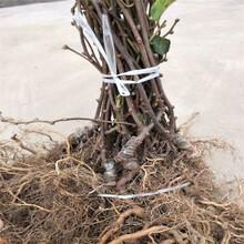 軟棗獼猴桃苗圖片一棵多少錢圖片