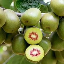 承德市紅心獼猴桃苗品種圖片