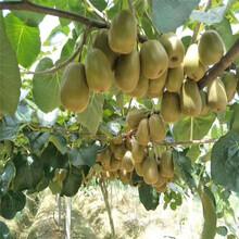 清遠市新品種獼猴桃苗品種圖片