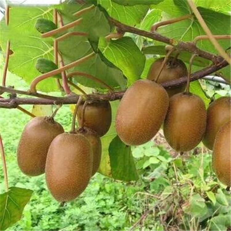 提供紅心獼猴桃苗批發豐產量產