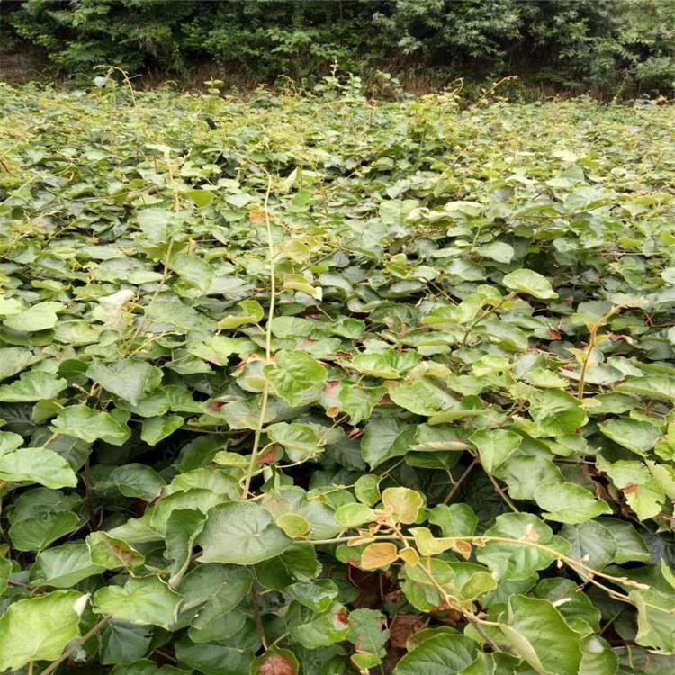 臨沂軟棗獼猴桃苗種植品種純正假一賠十