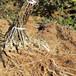 西安市新品種獼猴桃苗品種