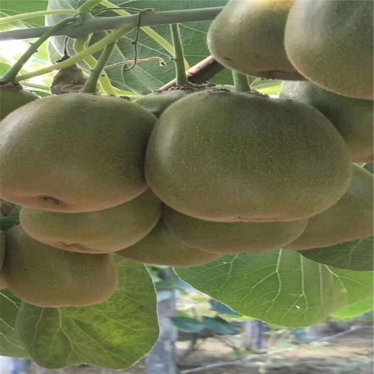 軟棗獼猴桃苗種植前景品種多成活率高好