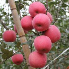 優質蘋果苗品種批發價格圖片