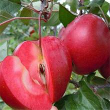 蘋果苗木品種多圖片
