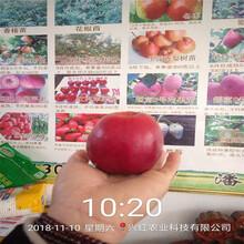 矮化蘋果苗新品種種植方法圖片
