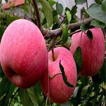 蘋果苗多少錢一棵種植方法圖片