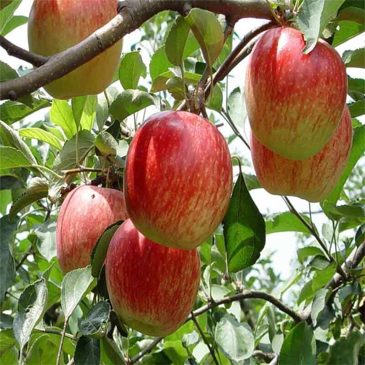 苹果苗品种一棵多少钱