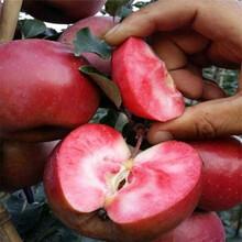 山西蘋果苗批發種植方法圖片
