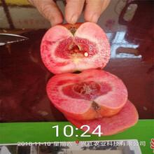 青島明月蘋果苗供應優質高產成活率高圖片