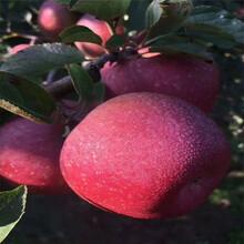 蘋果苗木圖片假一賠十圖片