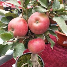 河南蘋果苗出售超低價廠家直銷圖片