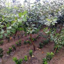 蘋果苗供應價格透明圖片