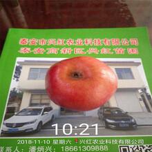 蘋果苗報價品種多成活率高質量好圖片