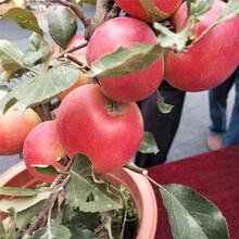 紅肉蘋果苗帶土發貨圖片