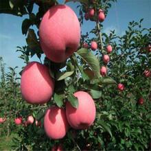 盆栽蘋果苗優質高產成活率高圖片