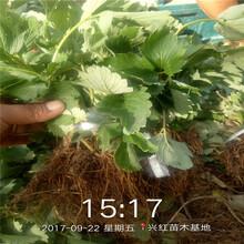 漢中市廣西草莓苗批發圖片