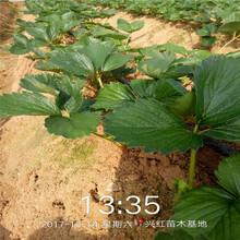 適合南北方種植草莓苗品種低價搶購圖片