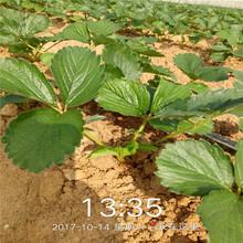 草莓苗價格育苗注意事項圖片