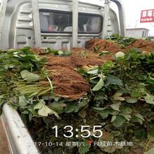 连云港市大棚草莓苗价格图片