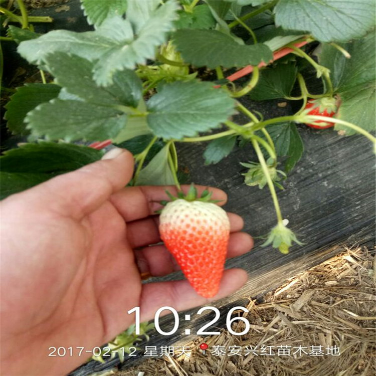 金昌市优质草莓苗价格