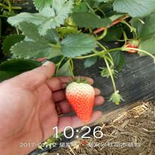 紅顏草莓苗查詢圖片