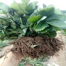 黑河市草莓苗什么时候种植图片