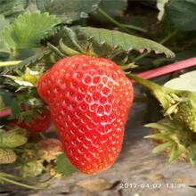 鄂尔多斯市丹东草莓苗批发图片
