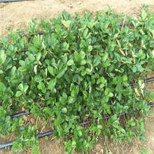 云浮市盆栽草莓苗的种植方法图片