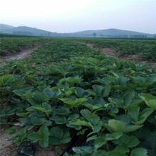 楚雄紅顏草莓苗新品種圖片